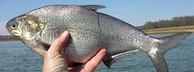 Smith Mountain Lake Striper Fishing Gizzard Shad